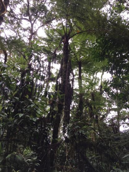 Parasol Tree
